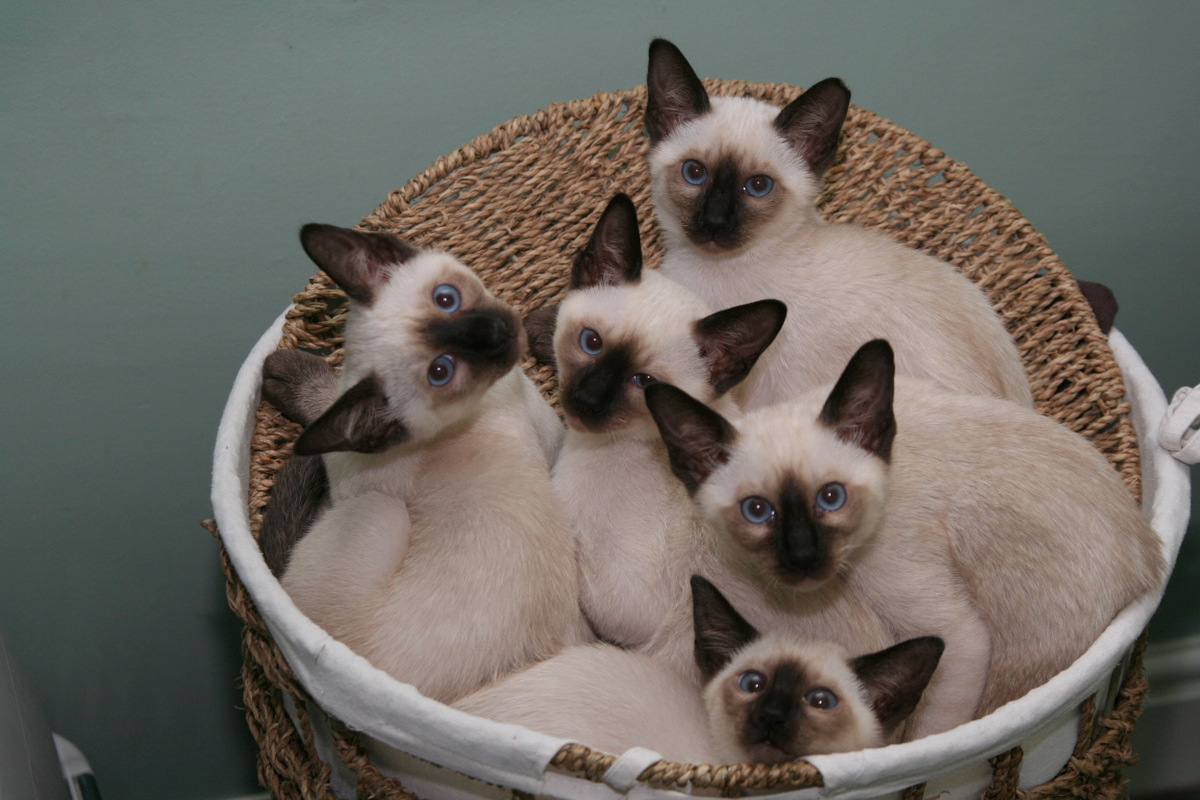 Lintama Cats Breeder of traditional/old-style Siamese cats in Suffolk