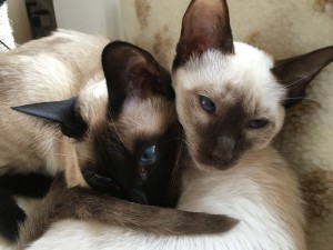 Stephanie and Henry Sessions' two Siamese at home in Felixstowe