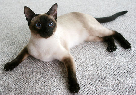 Lintama Cats Breeder Of Traditional Old Style And Classic